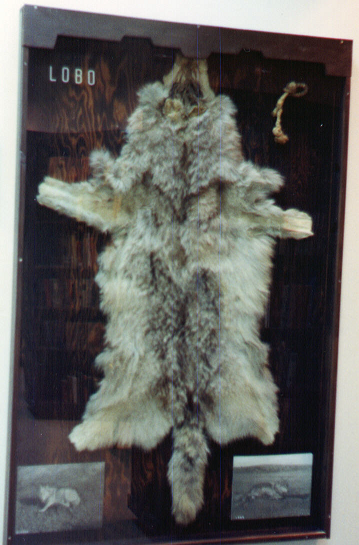 Photo of Lobo's pelt, with the photos that Seton himself took.