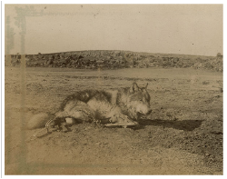 Lobo After His Capture